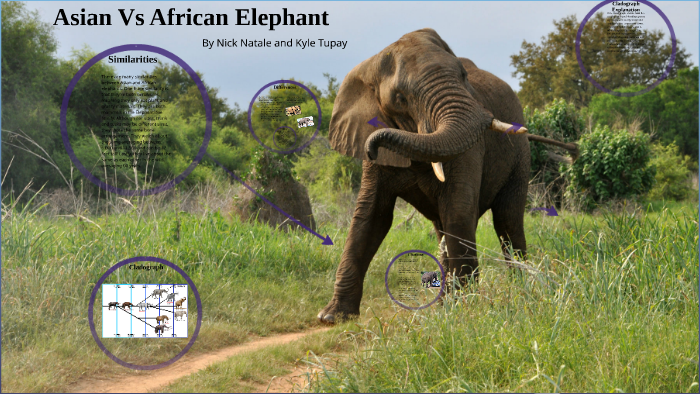 asian and african elephants similarities
