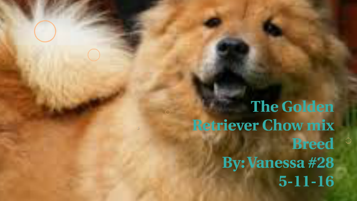 The Golden Retriever Chow Mix Breed By Vanessa Mitchell