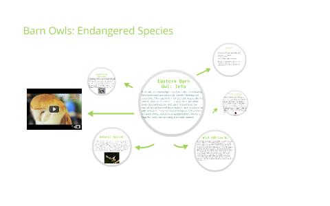 Barn Owls: Endangered Species by Liam Bergeron on Prezi