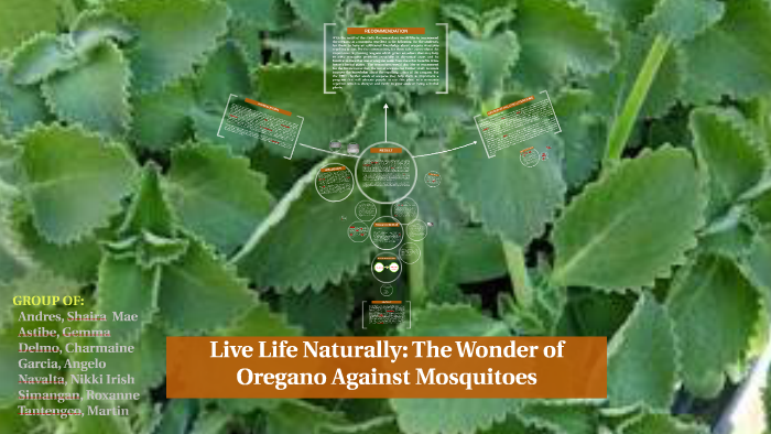 Live Life Naturally The Wonder Of Oregano Against Mosquitoe By