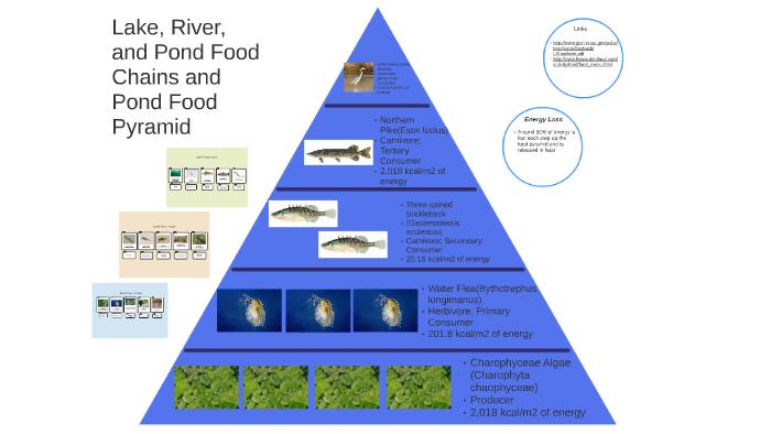 Freshwater Ecosystem Pond Food Pyramid By Sunil Krish On Prezi