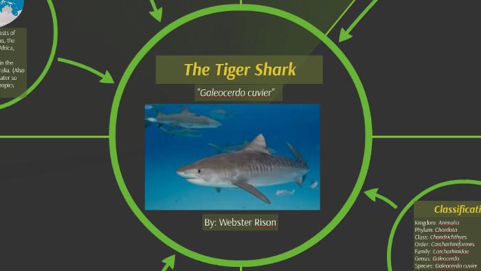 The Tiger Shark by Webster Rison on Prezi