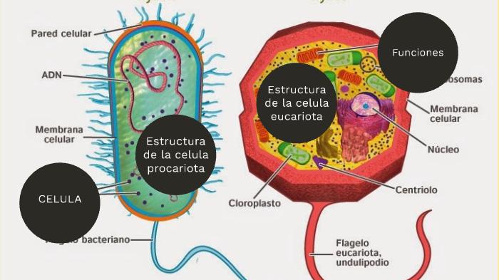 Procariotas Y Eucariotas By Vanessa Sayago On Prezi Next