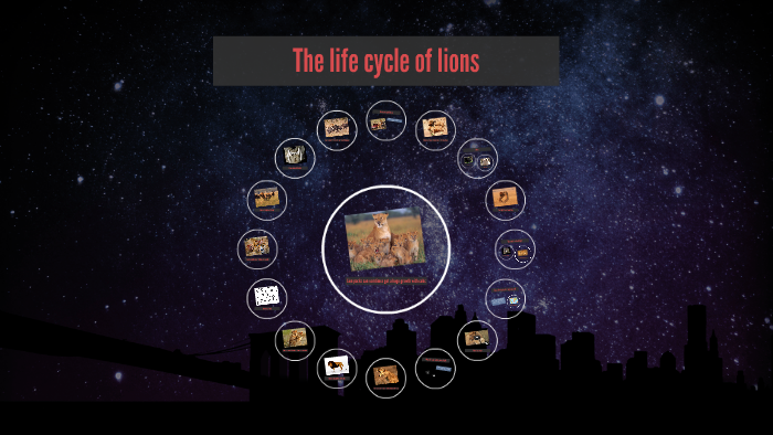 The life cycle of lions by javyne ormiston on Prezi