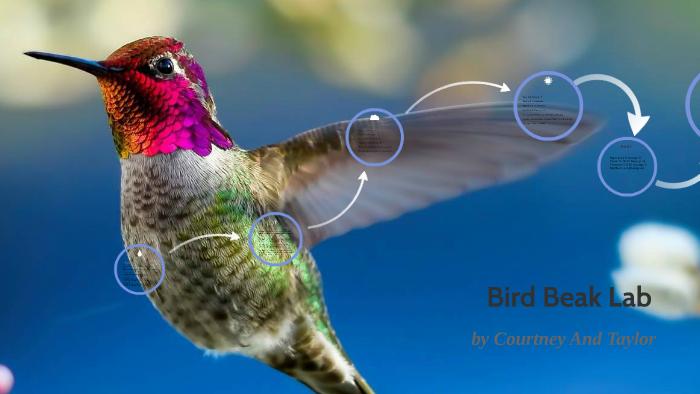 Bird Beak Lab by Courtney Carlson on Prezi Next
