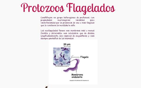 Protozoos Flagelados By Juana Rico On Prezi