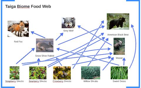 taiga biome food web by anthony tran on prezi