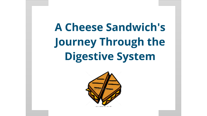 A Cheese Sandwich's Journey Through the Digestive System by