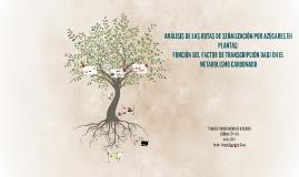 ANÁLISIS DE LAS RUTAS DE SEÑALIZACIÓN POR AZÚCARES EN PLANTA