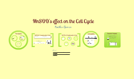 MnSOD's effect on the cell cycle
