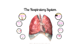 Copy of The Respiratory System