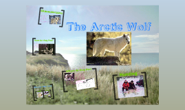 Copy of The Artic Wolf