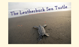The Leatherback Sea Turtle