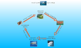 FOOD CHAIN of a BELUGA WHALE by Destiny Glover on Prezi