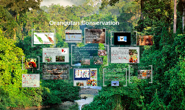 Copy of Orangutans and Palm Oil
