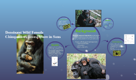 Why Dominant Wild Female Chimpanzees Invest More in Sons