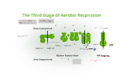 The Third Stage of Aerobic Respiration
