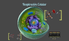 Copy of Respiración celular