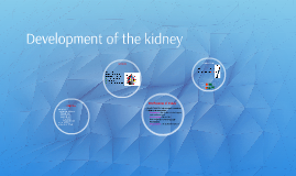 Development of the kidney