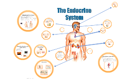 Copy of The Endocrine System