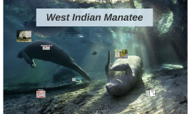 West Indian Manatee by Caitlin Foster