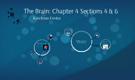 The Brain Section 4 & 6