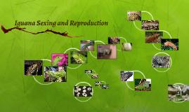 Iguana Reproduction