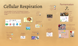 Copy of Cellular Respiration