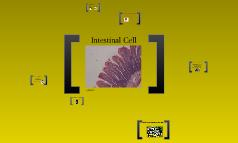 Intestinal Cell