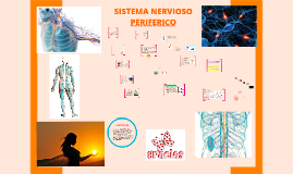 Copy of SISTEMA NERVIOSO PERIFERICO