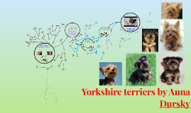 Yorkshire  terriers by Anna Dursky