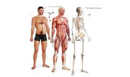 Skeletal System - GCSE