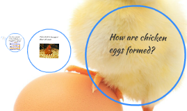 How are chicken eggs formed?