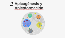 Apicogénesis y Apicoformación