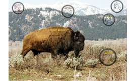 Copy of American Bison