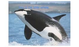 this the killer whale