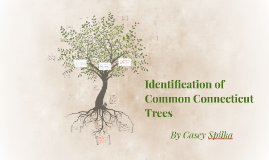 Identification of Common Connecticut Trees