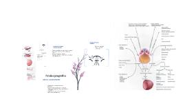 Período organogenético: cuarta a ocho semanas.