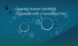 Growing Human Intestinal Organoids with a functional ENS