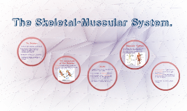 The Skeletal-Muscular System.